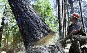 В Адыгее уничтожают вековые леса
