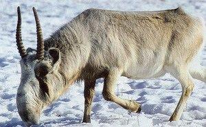 В Калмыкии проводят огромную работу по сохранению сайгака
