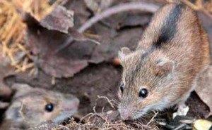 Необходимость уничтожения мышевидных грызунов на полях Адыгеи сохраняется