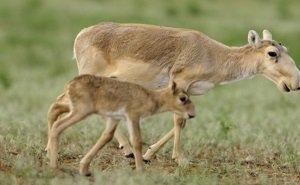 В Калмыкии ожидается рост популяции сайгаков