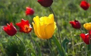 Калмыкия приглашает на Фестиваль тюльпанов