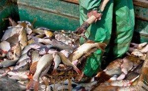 В Астрахани орудует «рыбная мафия»