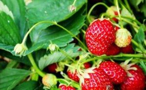 В Адыгее выгоднее выращивать ягоды