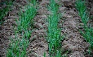 Как скажется на урожае в Волгоградской области обилие майской влаги