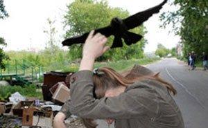 Астраханские вороны нападают на людей