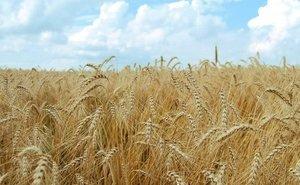 В Астраханской области впервые в ЮФО будут выращивать «стекловидную» пшеницу