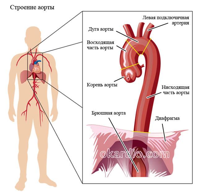 отделы аорты