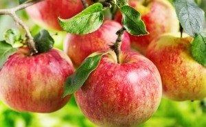 В Адыгее увеличился валовой сбор яблок, выращиваемых по итальянской технологии