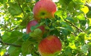 Адыгея будет экспортировать саженцы яблонь в Италию