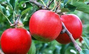 Возрождать фруктовые сады Астраханской области помогает Греция