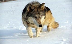 В Астраханской области гигантский волк забрался во двор жилого дома
