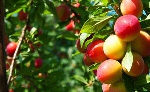 Адыгея добилась роста урожайности плодов и ягод