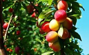 Адыгея может остаться без фруктов