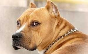 Астраханка покусала владельца собаки за отсутствие у пса намордника