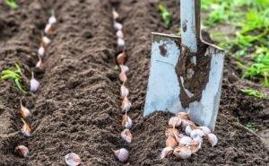 Адыгея будет выращивать чеснок в промышленных масштабах