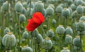 На Дону могут появиться легальные опиумные плантации