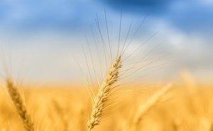 Ростовские экспортёры зерна намерены вернуться к «серым» схемам