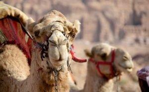 Калмыкия возрождает верблюдоводство