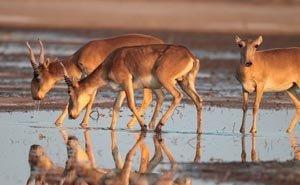 Решить проблему дефицита воды для астраханских сайгаков помог WWF