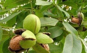 В Адыгее приступили к выращиванию грецких орехов в промышленных масштабах
