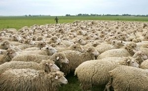 Калмыкия начнёт экспортировать сельхозживотных в Иран