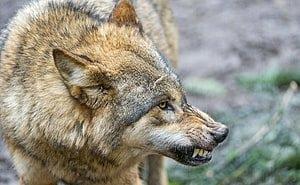 Астраханцы избавились от волчицы, терроризировавшей жителей посёлка
