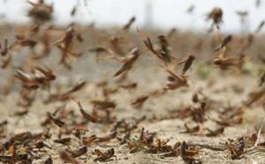 Минсельхоз Калмыкии попросил ООН помочь в борьбе против саранчи
