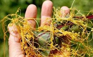 Из-за растения-паразита под Астраханью пришлось вводить карантин