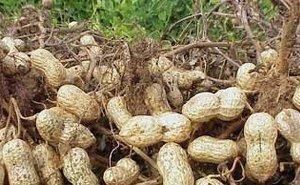 Астраханская область лидирует в стране по выращиванию арахиса