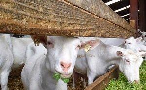 В Адыгею привезли элитных голландских коз