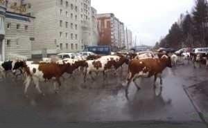 В Астрахани власти возмущены стадом коров, гуляющих у здания администрации