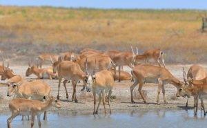 Беспилотники WWF посчитают сайгаков Калмыкии