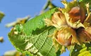 Адыгея займётся выращиванием фундука в промышленных масштабах