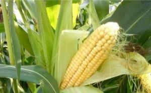 Адыгея будет поставлять в Турцию кукурузу для попкорна