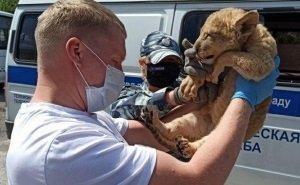 У львёнка, контрабандой перевозимого в Москву, обнаружили пневмонию