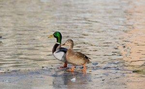 На Лебедином озере Астрахани поселились утки