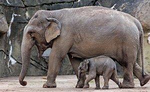 После передачи слонёнка Запашным Ростовский зоопарк исключили из ЕАРАЗА