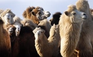 На хозяина верблюдов, терроризирующих астраханцев, подали в суд