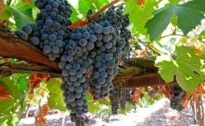 Площадь виноградников в Адыгее будет увеличена в 18 раз