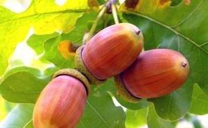 Дубовые леса Адыгеи уничтожает вредитель