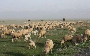 Животноводы Калмыкии могут потерять до 80% скота