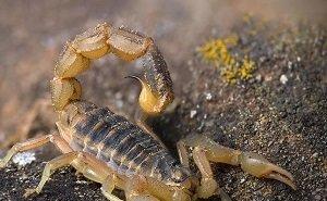 В Калмыкии нашли доказательства обитания пёстрых скорпионов