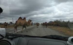 Суд обязал астраханца «приструнить» своих верблюдов