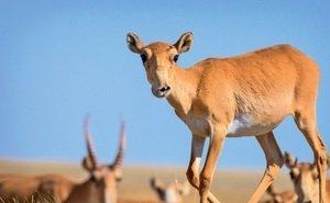 На защиту астраханских сайгаков встал WWF