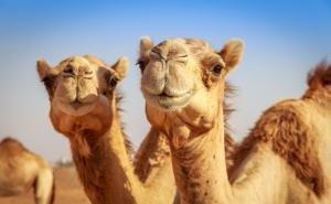 Астраханцы изобретают лекарство от туберкулёза на основе верблюжьего молока