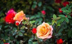 В Майкопе будет высажено больше 200 кустов роз