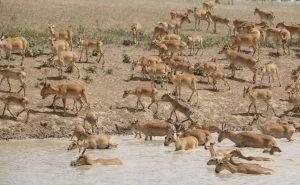 В Астраханской области замечено огромное стадо сайгаков