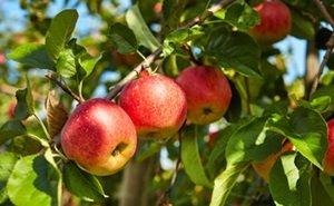 Астраханцы могут остаться без фруктов