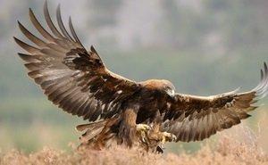 За степными орлами в Калмыкии будут следить со спутника