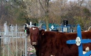 В Волгоградской области коровы разгромили кладбище